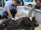مرگ دردناک توله خرس قهوه ای در روستای زیارت+تصاویر