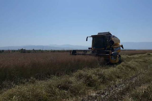 اولین برداشت کلزا از دیمزارها در مزارع کلاله آغاز شد