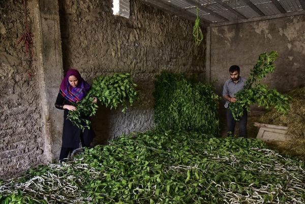 ۲۵۰۰ تن پیله ابریشم در گلستان تولید شده است