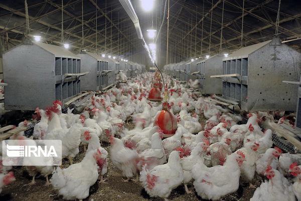 گلستان دومین تولید کننده مرغ کشور است