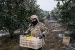 برف پاییزه مرکبات گلستان را بر باد داد/ ناامیدی کشاورزان از بیمه
