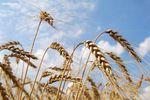 دستور واردات 7 میلیون تن گندم به کشور را چه کسی داده است ؟