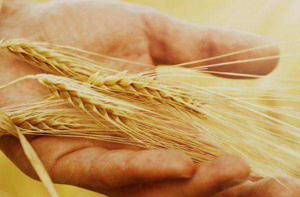 کشاورزان گمیشان بذر گندم و جو ندارند !
