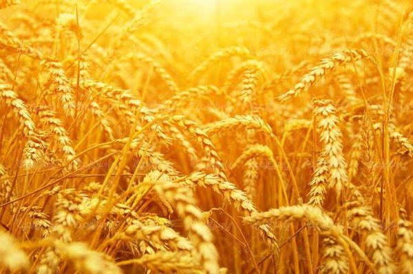 مراکز توزیع بذور گندم در گرگان فعال شد